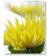 What is Anti-Chrysanthemumism?